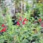 Tropical #1 Salvia greg Radio Red Texas Sage