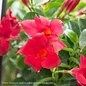 Tropical #1/6p! Mandevilla/Dipladenia Asst. - Bush Form