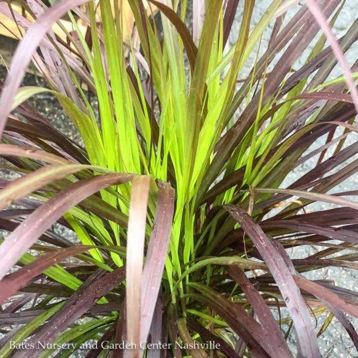 Tropical QP Grass Pennisetum set Rubrum/Purple Fountain NO WARRANTY