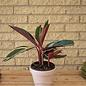 Tropical 10p! Stromanthe Triostar/Peacock Plant
