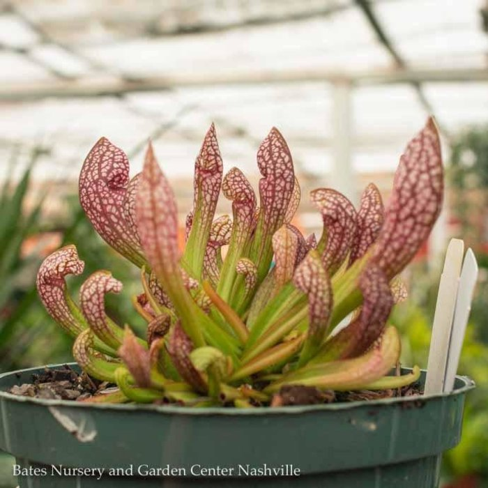6p Carnivorous Sarracenia 'Scarlet Belle'/Pitcher Plant Tropical