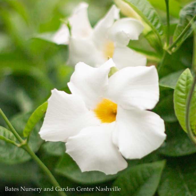 Tropical QP Mandevilla White