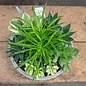Tropical 8P Savannah Planter w/ Succulent Combo
