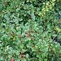#1 Cotoneaster dammeri Eichholz/Spreading
