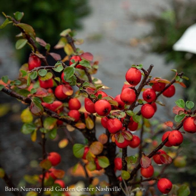 #1 Cotoneaster apiculatus/Cranberry