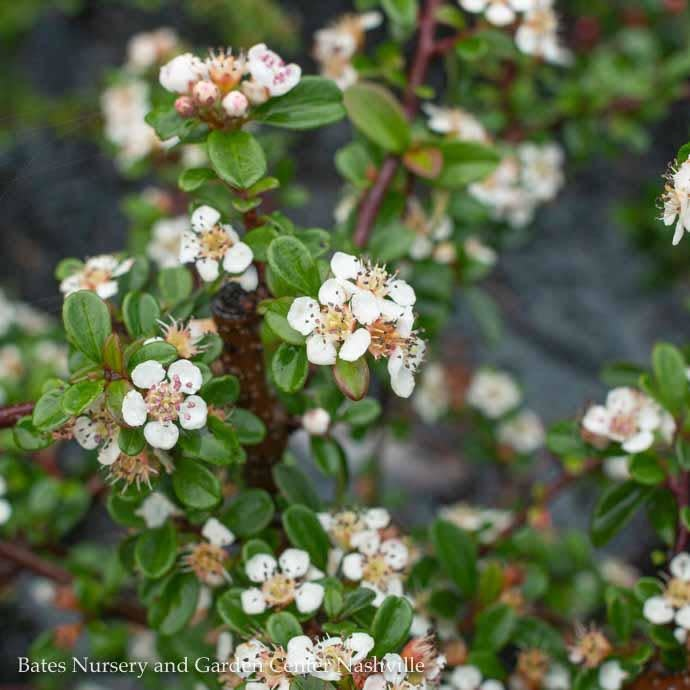 #1 Cotoneaster dammeri Coral Beauty