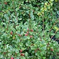 #2 Cotoneaster dammeri Eichholz/Spreading