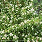 #2 Cotoneaster dammeri Coral Beauty