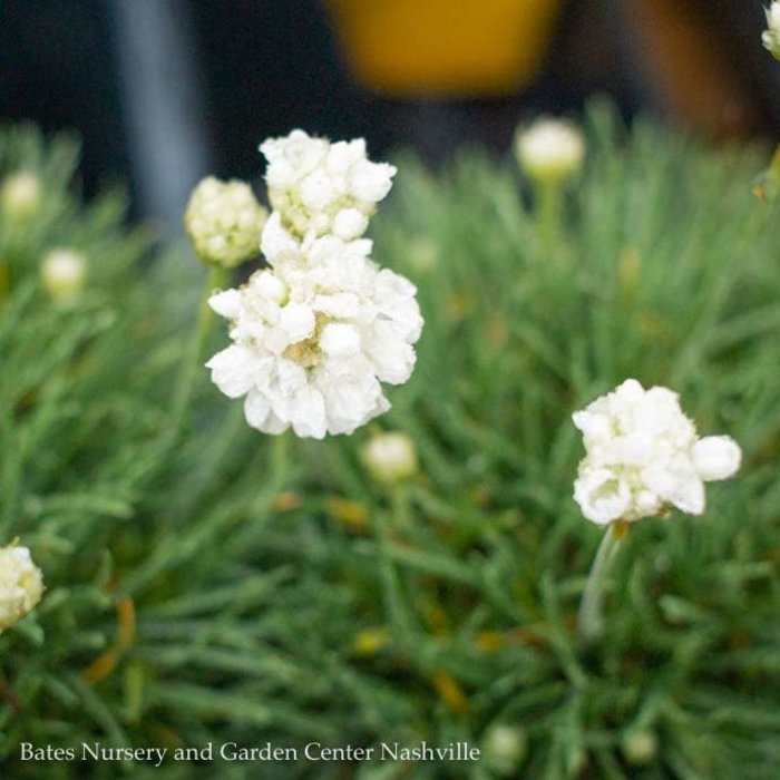 QP Armeria maritima 'Cotton Tail'/Thrift