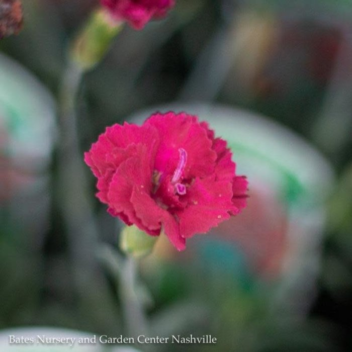 QP Dianthus x 'Frosty Fire'/Cheddar Pink
