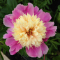 #2 Paeonia Bowl Of Beauty/Peony  Dbl Pink w/ Yellow Center