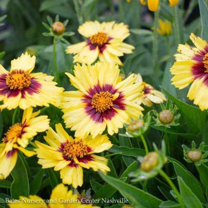#1 Coreopsis Uptick Yellow & Red/Tickseed