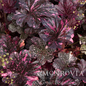 #1 Heuchera Midnight Rose/Coral Bells
