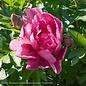 #5 Paeonia Itoh Keiko/Hybrid Tree Peony Semi-Dbl Soft Pink