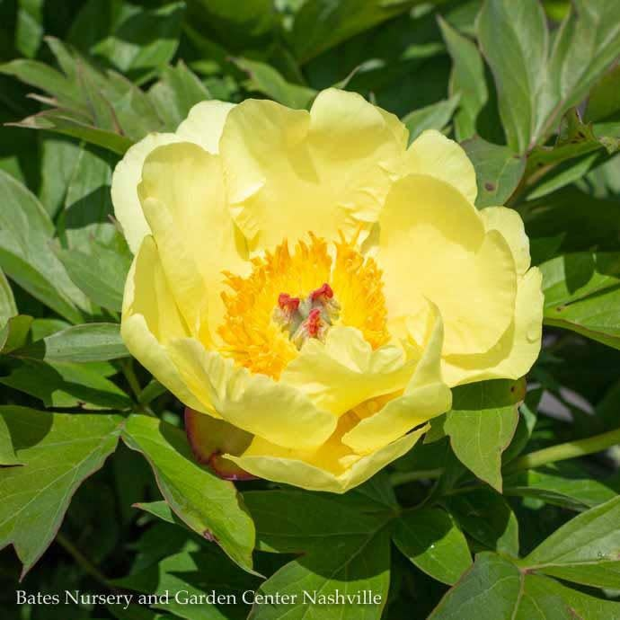 #5 Paeonia Itoh Sequestered Sunshine/Hybrid Tree Peony Semi-Dbl Yellow