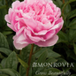 #2 Paeonia x Lady Orchid/Peony Dbl Soft Lavender Pink