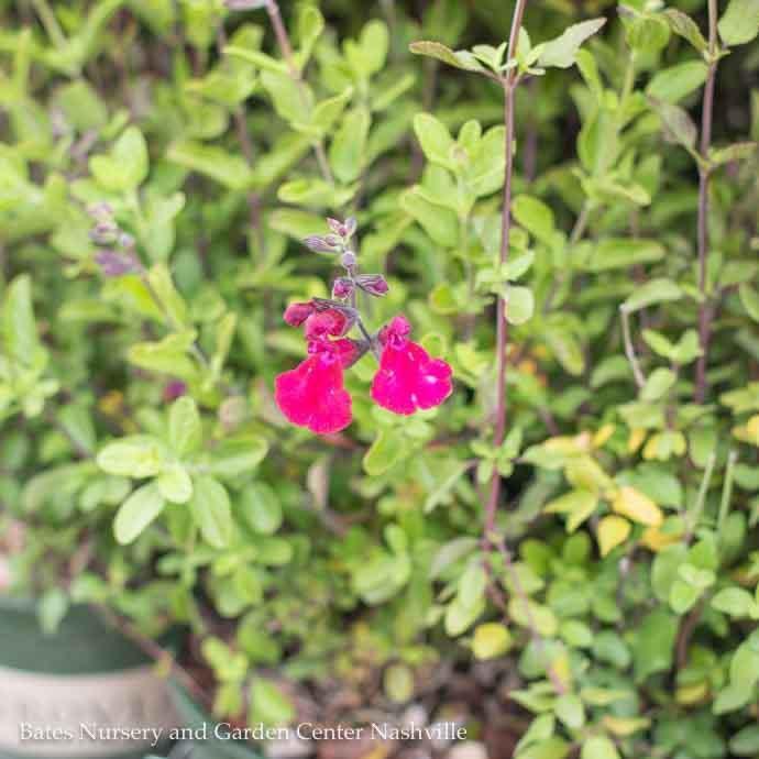 #1 Salvia Heatwave Blaze/Crimson