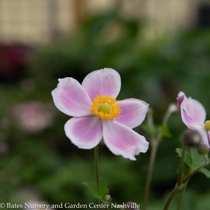 #1 Anemone 'September Charm'/Japanese Pink