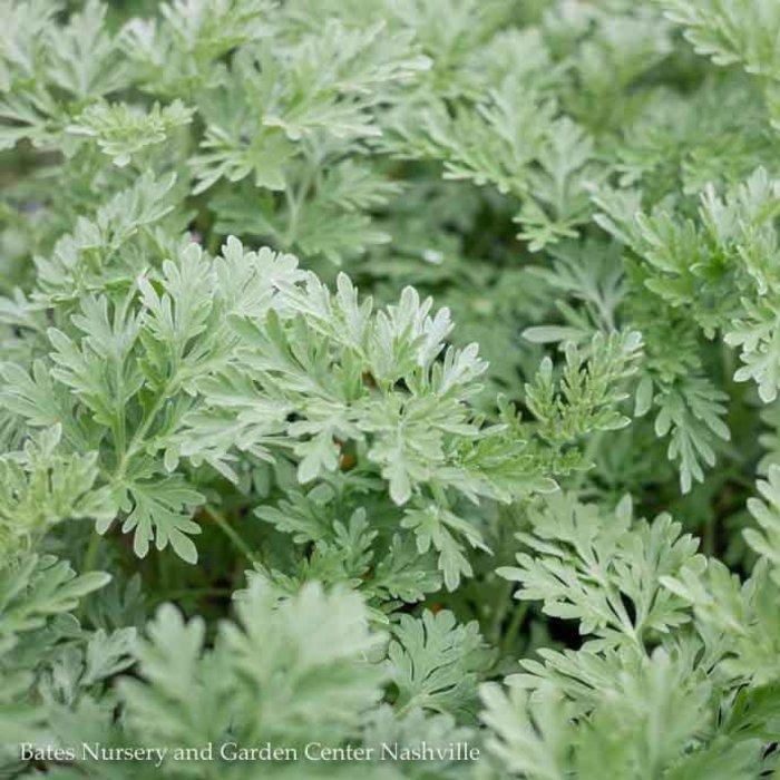 QP Artemisia 'Powis Castle'/Wormwood