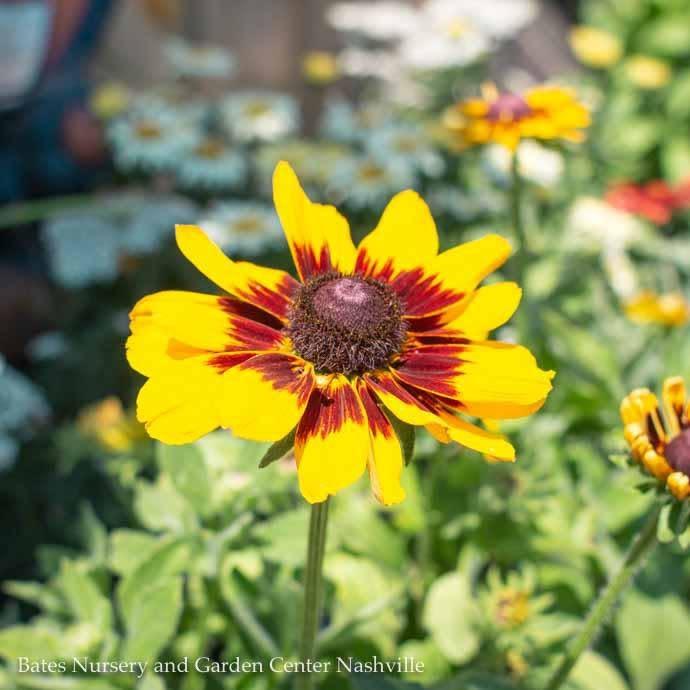 #1 Rudbeckia Denver Daisy/Black-Eyed Susan