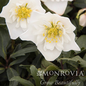 #1 Helleborus Double Fantasy/Christmas Rose