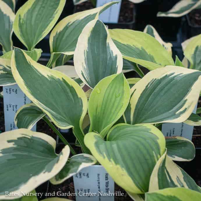#1 Hosta Wide Brim/Blue-Green w/Cream