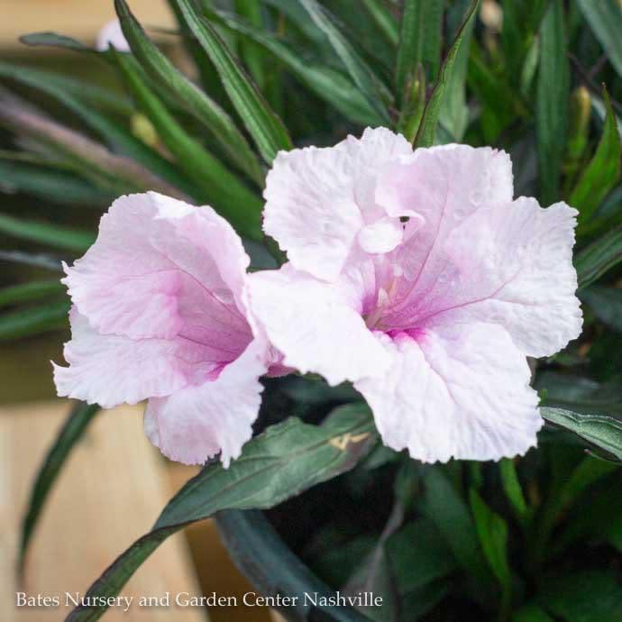 #1 Ruellia Katie Pink/Dwarf Tropical