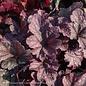#1 Heuchera Berry Smoothie/Coral Bells