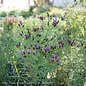 #1 Vernonia 'Iron Butterfly'/Ironweed