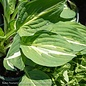 #1 Hosta Striptease/Variegated