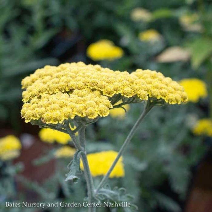 QP Achillea 'Moonshine'/Yellow Yarrow