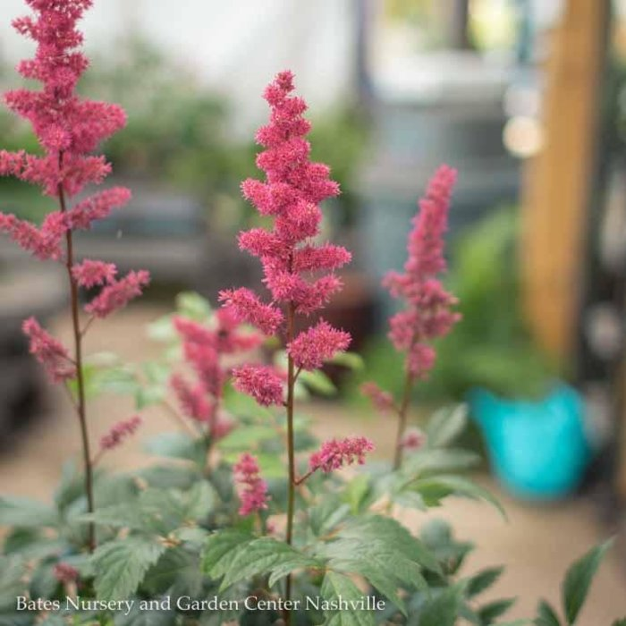#1 Astilbe x arendsii Fanal/red