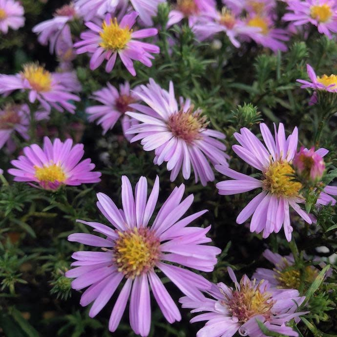 QP Aster Wood's Pink