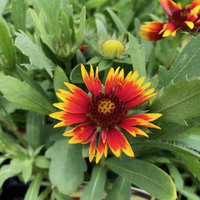QP Gaillardia Goblin/Blanket Flower