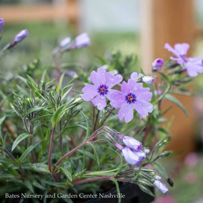 QP Phlox s. Emerald Cushion Blue/Creeping