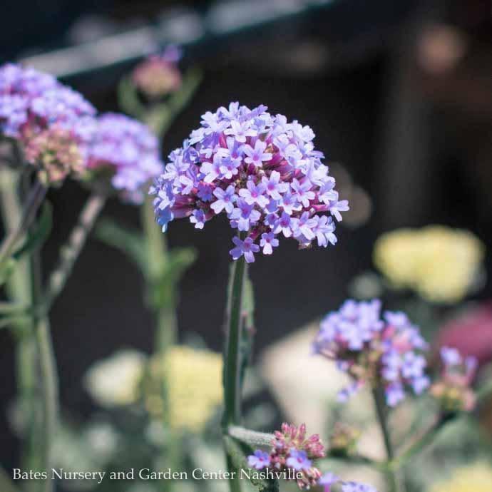#1 Verbena Bonariensis/Purpletop Vervain