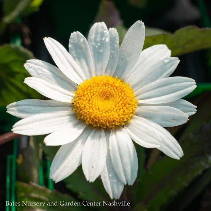 QP Leucanthemum x superbum 'Snowcap'/Shasta Daisy