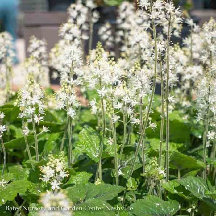 QP Tiarella Brandywine/Foam Flower