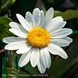 #1 Leucanthemum x superbum 'Snowcap'/Shasta Daisy