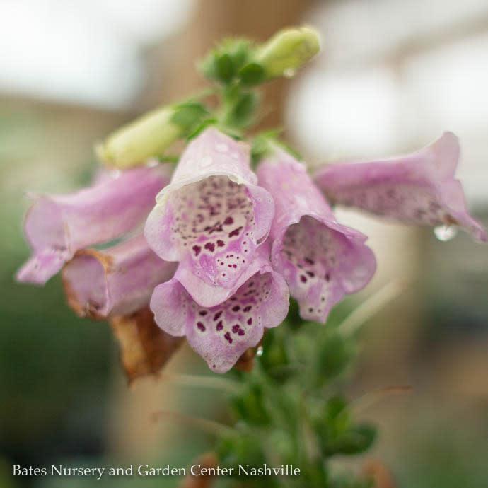 QP Digitalis Camelot Lavender/Foxglove