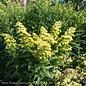 #1 Solidago Little Lemon/Goldenrod