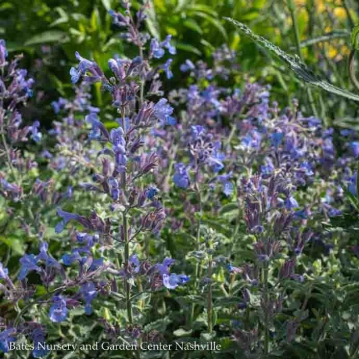 #1 Nepeta Junior Walker/Catmint Compact