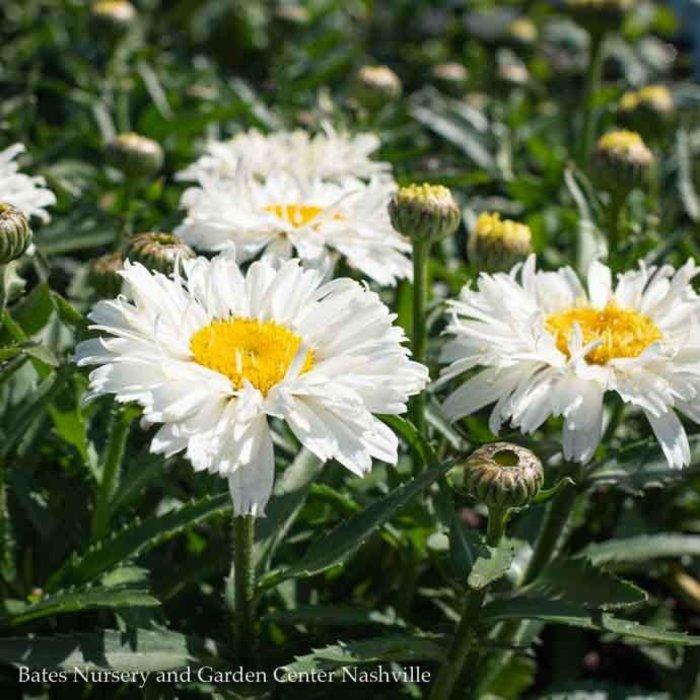 #1 Leucanthemum Freak/Shasta Daisy