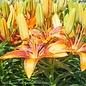 #1 Lilium Tiny Orange Sensation/Asiatic Lily Orange & Red