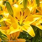 #1 Lilium asiatic Tiny Bee/Lily Yellow