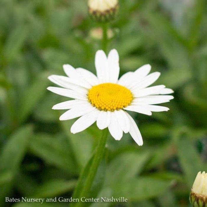 QP Leucanthemum Crazy Daisy/Shasta