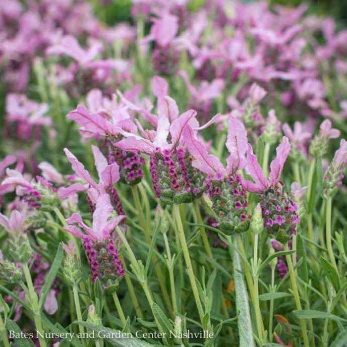 #1 Lavender p With Love/Repeat No Warranty