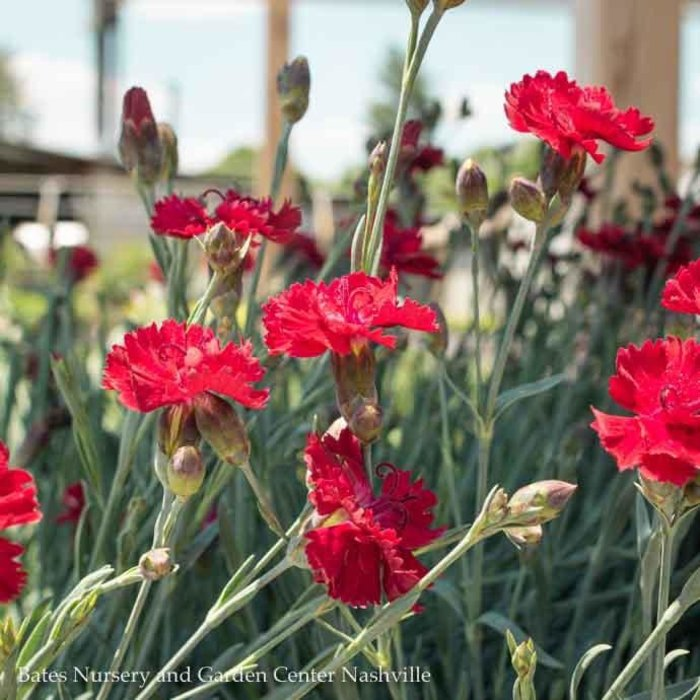 QP Dianthus Fire Star