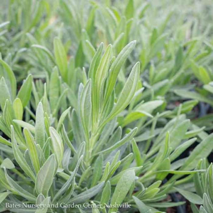 10P Lavandula x intermedia 'Provence'/French Lavender No Warranty