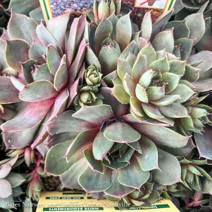 Succulent QP Sempervivum Red Heart/Hens and Chicks